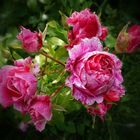 Üppig blühende Rosen