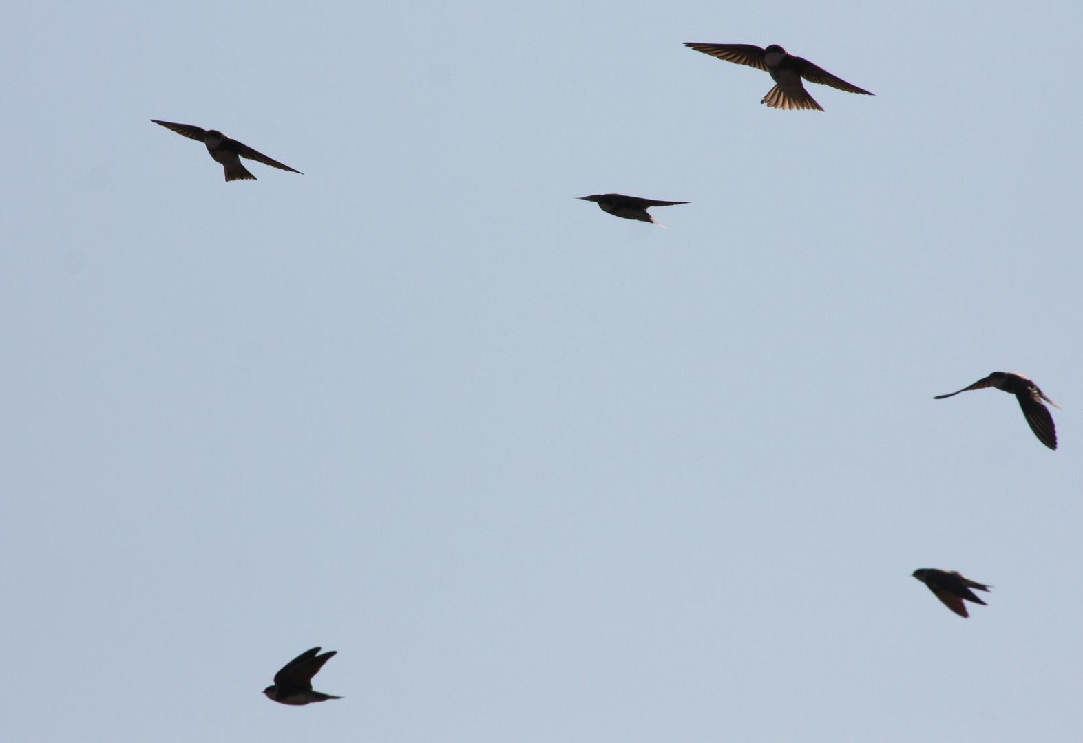 uferschwalben am frühlingshimmel
