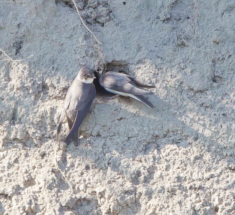 Uferschwalben beim Nestbau