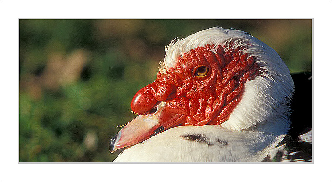 Ugly Duck !!!