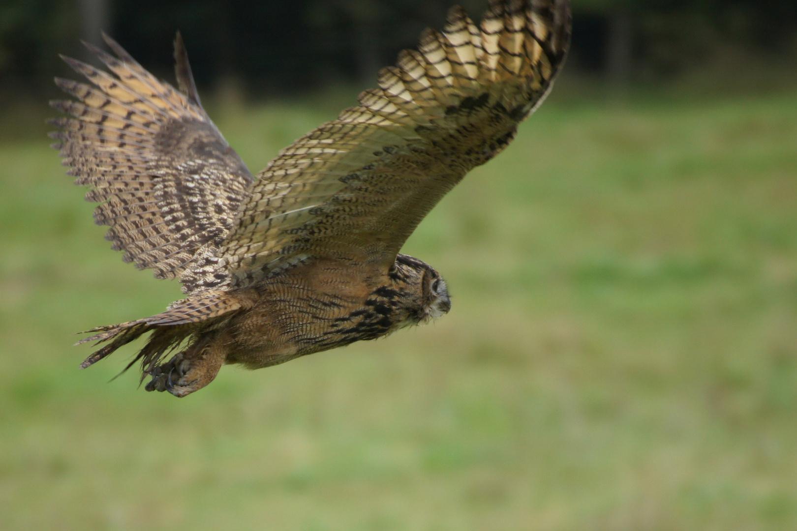 uhu im flug foto  bild  tiere wildlife wild lebende