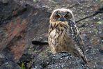 Uhu Jungvogel -Wildlive-