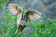 Uhu wildlife (Bubo bubo) (1)