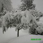 ulivo sotto la neve