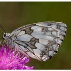 Ultime Farfalle...