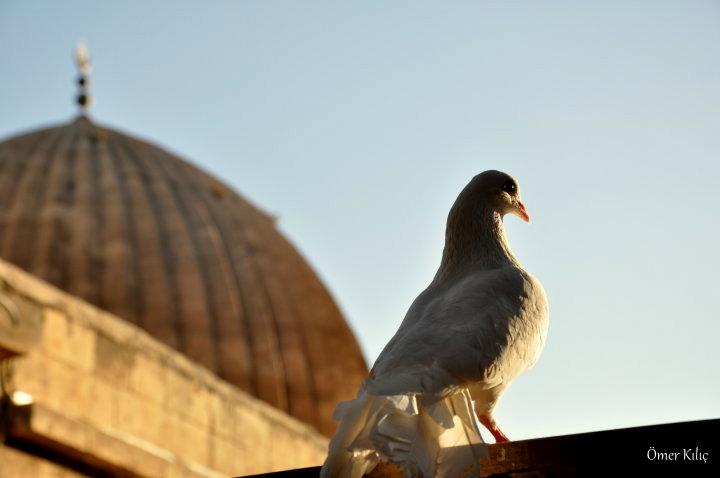 Ulu Camii ve Mardin Güvercini