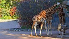 Um alle drei Kordafon  Giraffen und eines der Damara Zebras auf zu nehmen, musste ich dreimal ...