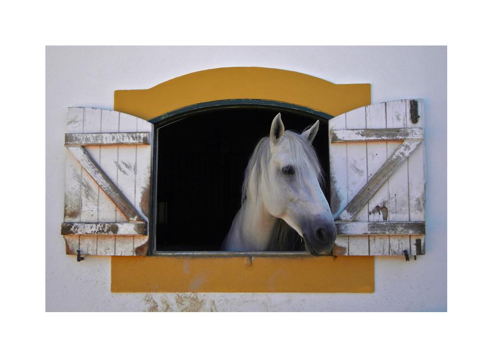 Um Cavalo Branco chamado Cisne