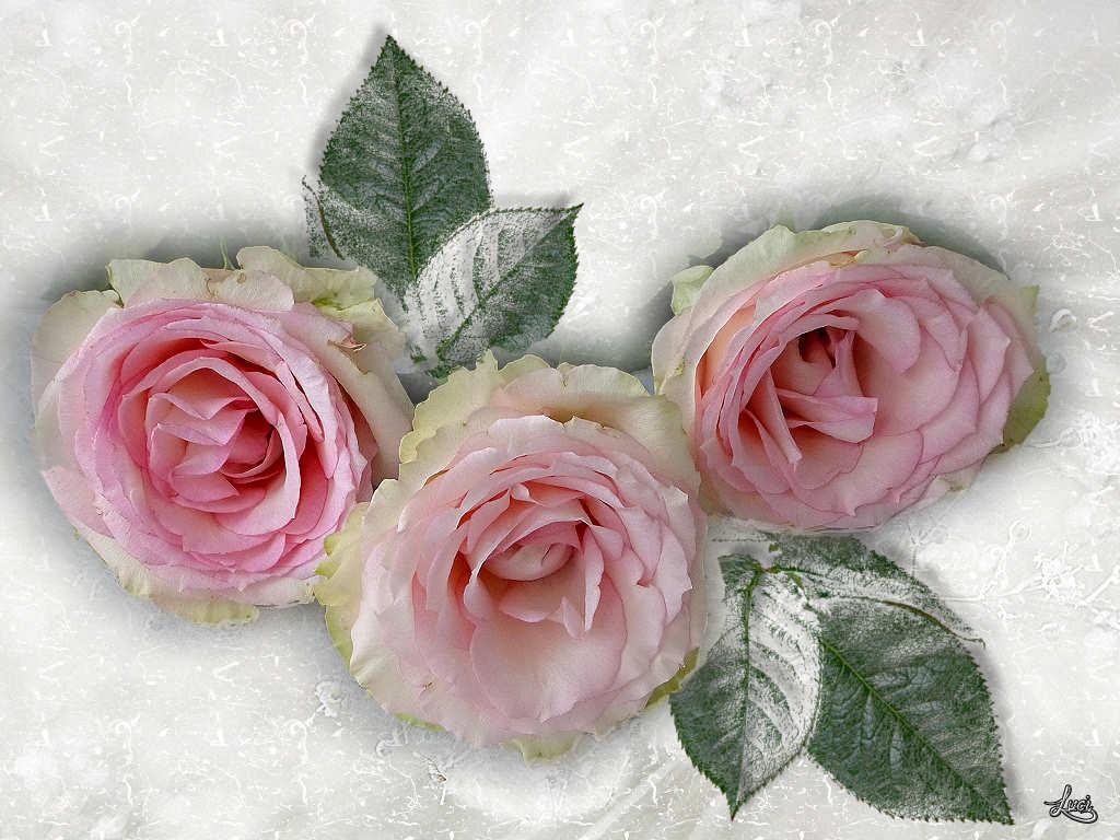 Um die Wette....... die Rosen.