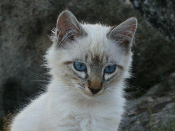 Um gato português