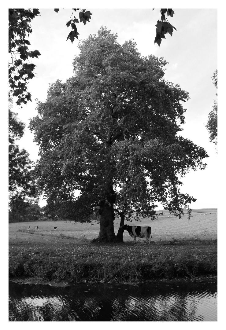 Un arbre et une vache
