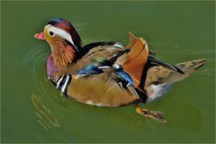 un canard mandarin ...