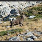 Un cervo sul Velino 4