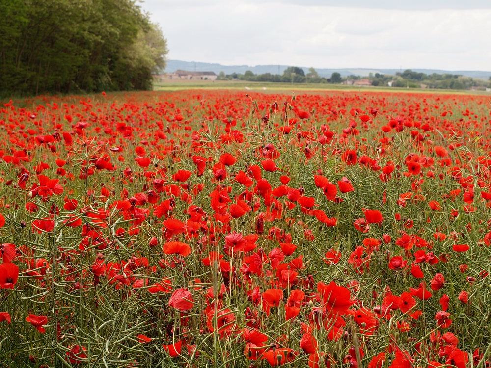 Un champ de pavots rouges photo et image | fleurs, fleurs ...