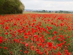 Un champ de pavots rouges