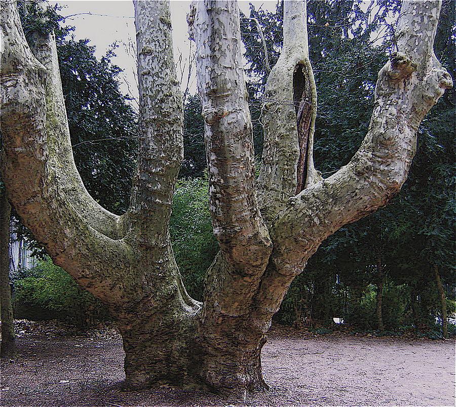 Un énorme platane à cinq troncs