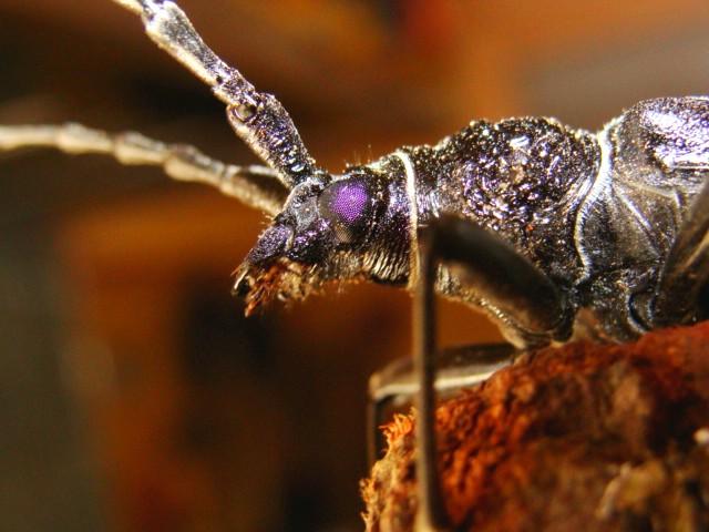 un enorme scarabée