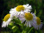 Un fiore