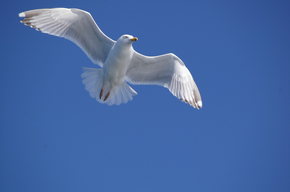 un goéland qui déploit ses ailes....