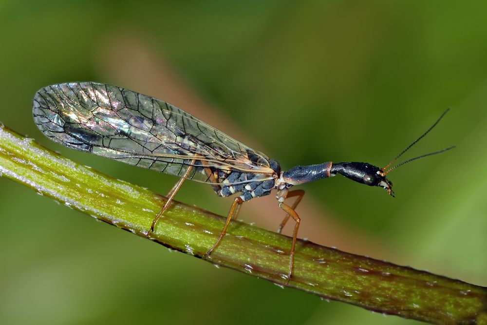 Un insecte pas comme les autres: Phaeostigma major! - Kamelhalsfliege, wie von einer anderen Welt...