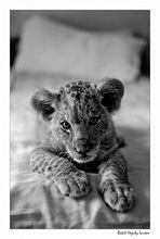 Un leone sul letto