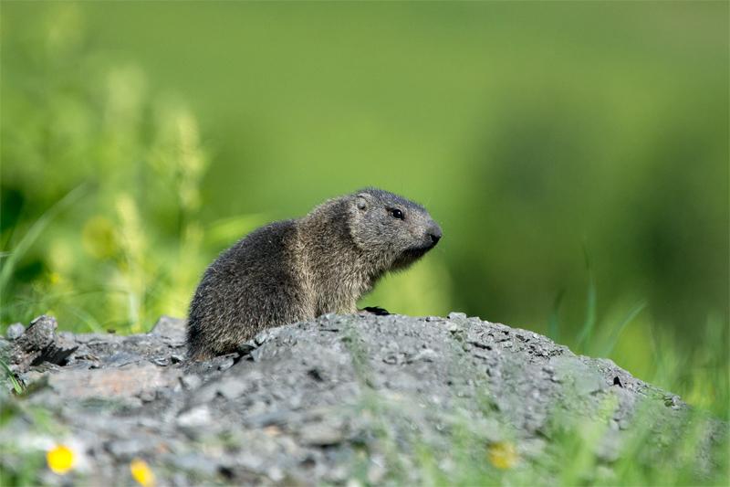 Un marmottino