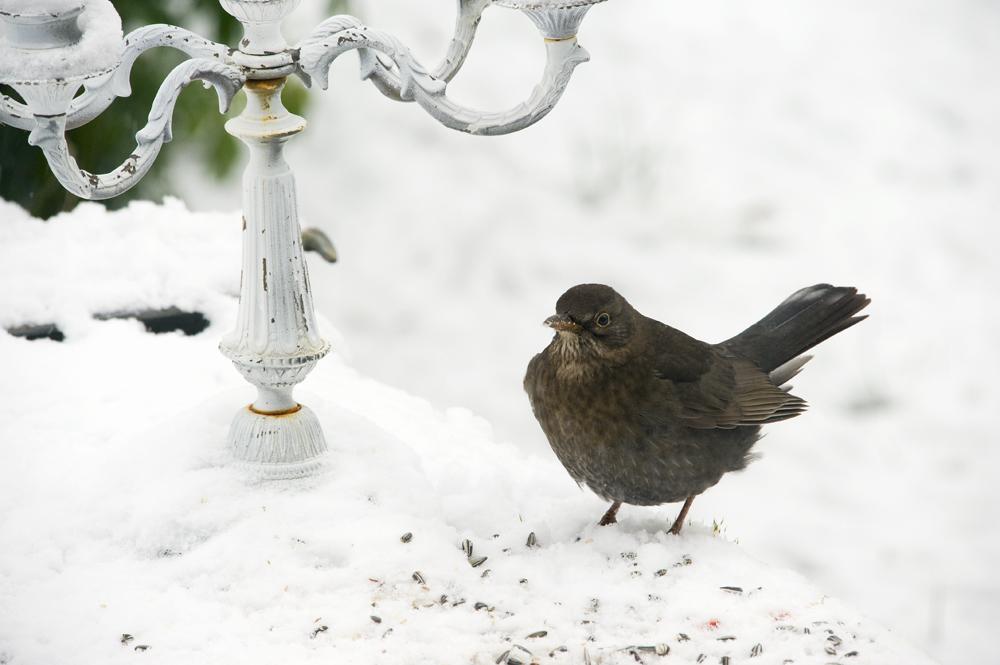 Un Merle en hiver