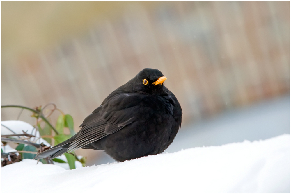 Un Merle en hiver_2