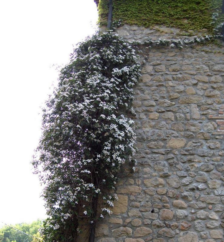 Un muro e fiori bianchi