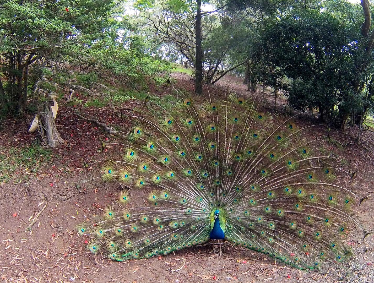 Le Paon Qui Fait La Roue un paon fait la roue dans le parc zoologique et forestier de