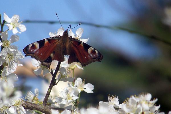 un papillon...