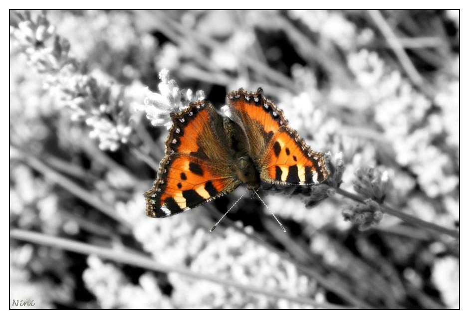 Un papillon sur la lavande...