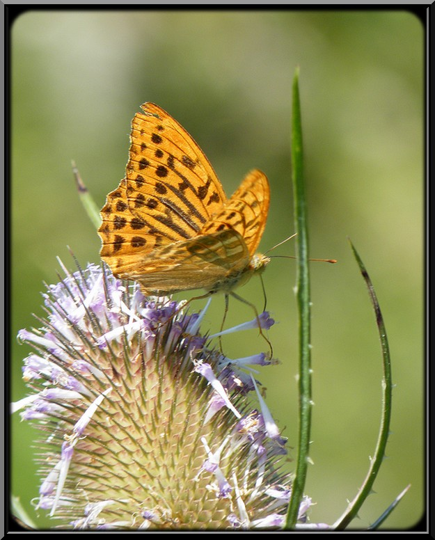 Un papillon sur une fleur de chardon