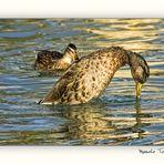 Un pato al final de la tarde