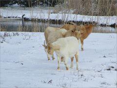 ..Un petit bonjour aux chèvres du village..