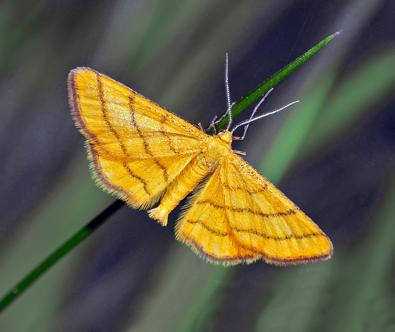 Un petit papillon très rare! Idaea aureolaria --- Goldgelber Magerrasen-Zwergspanner.