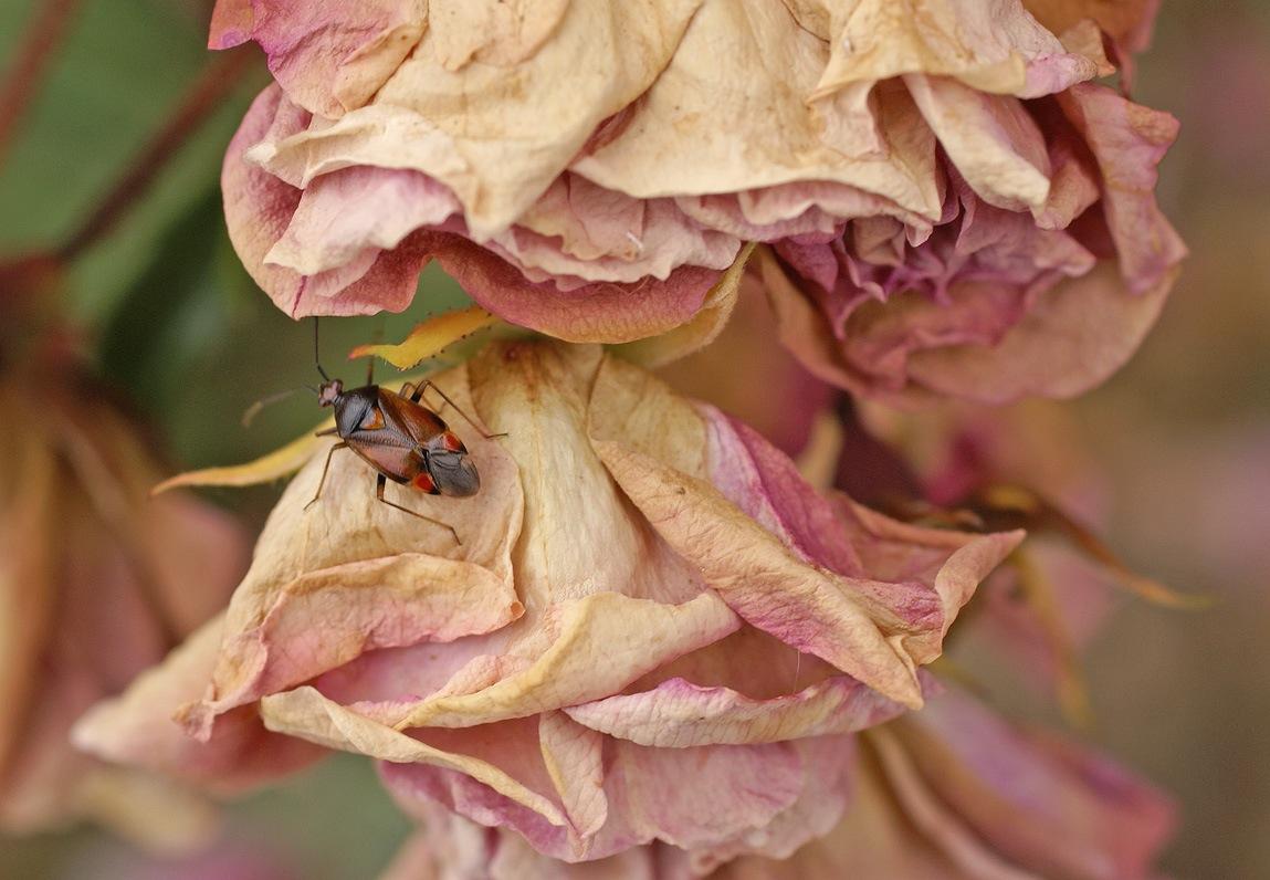 Un peu fanées ... ces roses
