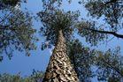 Un pin des Landes c'est haut !!!
