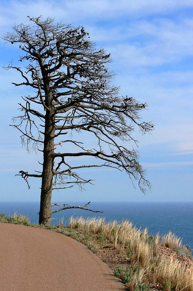 un pin se meurt au bord du chemin