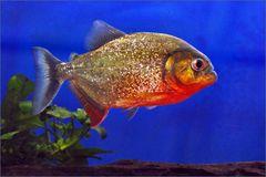 un piranha aussi doré que rouge ....