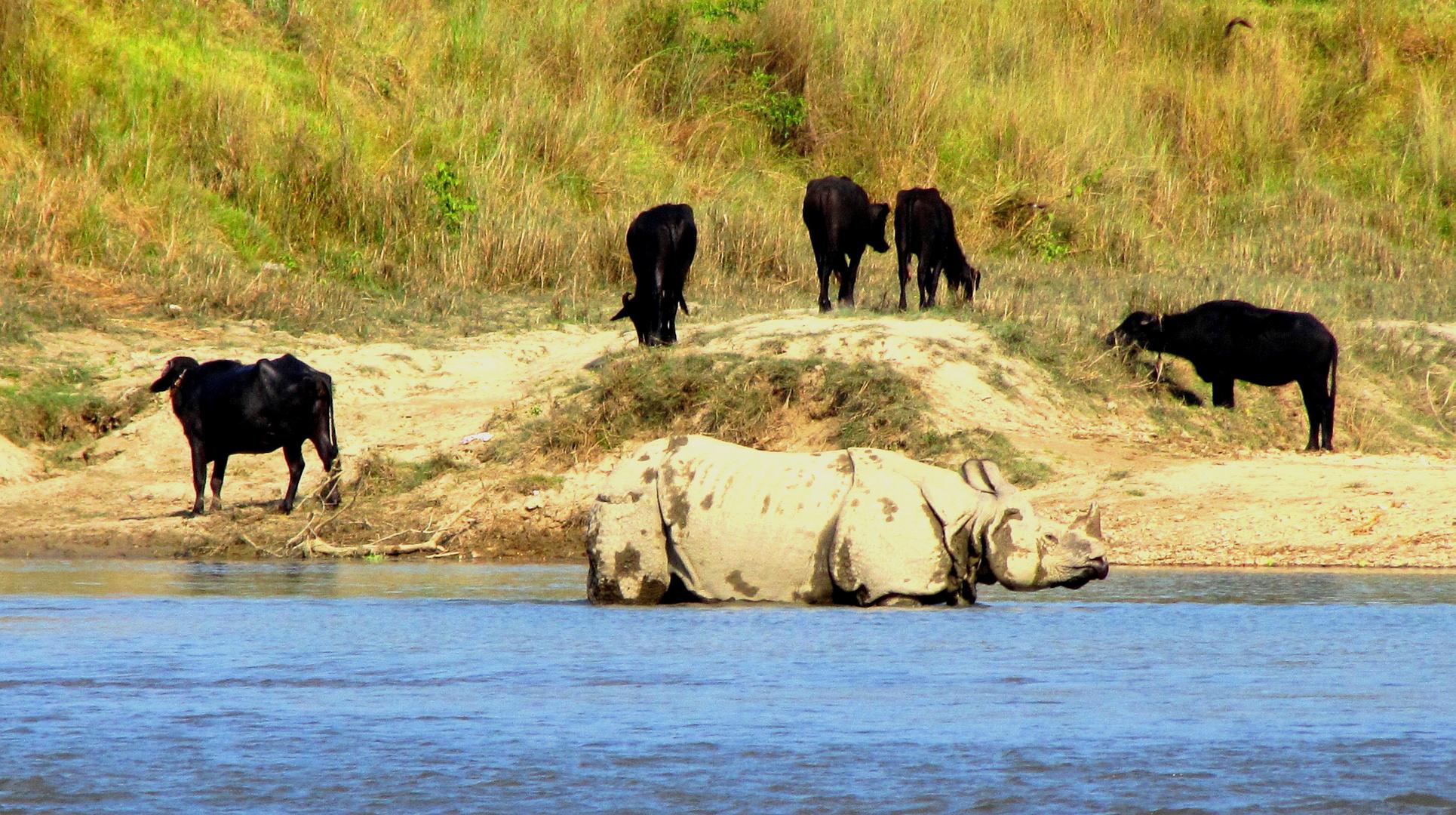 Un rhinocéros parmi les vaches...