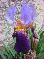 ..Un simple Iris..