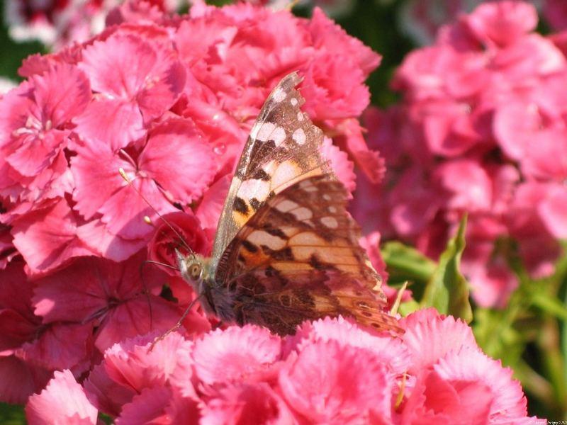 Un simple papillon.