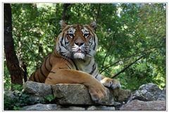 un Tigre Tranquille......pour dire merci