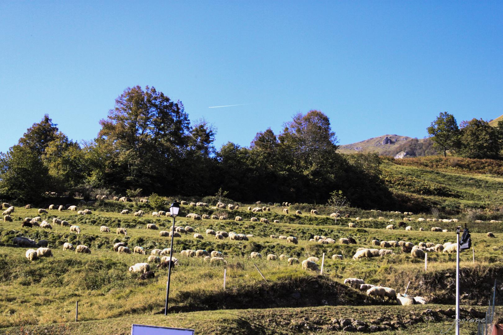 Un troupeau de brebis a été sorties.