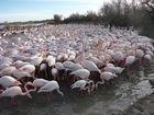 Un troupeau de Flamants