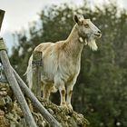 una capra fiera