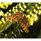 ...Una farfalla a testa in giù...