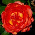Una flor de Primavera para el Día de las Madres.