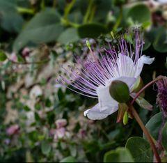 Una flor en Dubrovnik